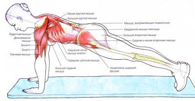 Чем полезна планка и что дает мужчинам и женщинам, а также какие мышцы работают